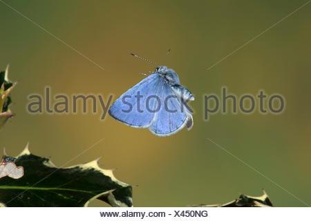 Holly Blue Butterfly Celastrina argiolus UK - Stock Photo