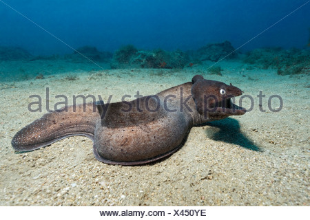 Black Moray Eel, Muraena augusti, Fuerteventura, Canary Islands, Spain - Stock Photo