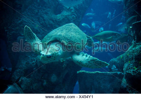 Sea Turtle swimming under water - Stock Photo