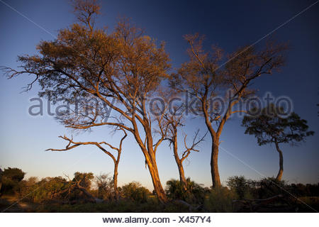 Africa, Botswana, North west District, Okawango delta, trees, evening light, - Stock Photo