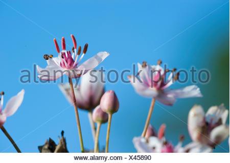 Schwanenblume, Schwanen-Blume, Wasserliesch, Blumenbinse, Doldige Schwanenblume, Wasserviole (Butomus umbellatus), Bluetenstand, - Stock Photo
