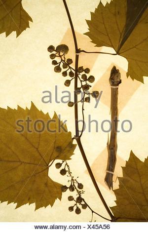 Vitis riparia Michx. Vitaceae. River bank grape. A preserved botanical at a herbarium in Kansas. Back lit. - Stock Photo