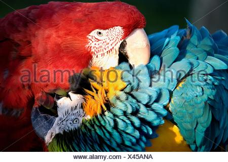 Red Green Winged Macaw and Blue and Gold Macaw Playing with a Love Bite