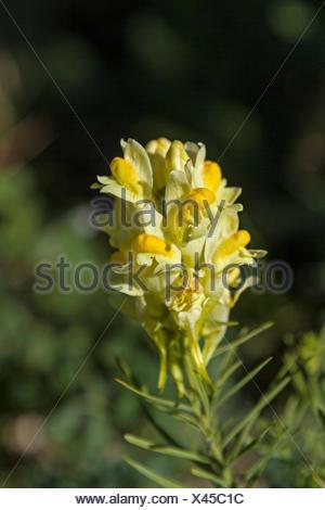 Kleines Löwenmaul oder auch Echtes Leinkraut genannt  ist häufig auf warmen Böschungen und sonnenbeschienenen Feldern zu finden - Stock Photo