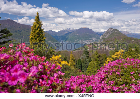 blossom, rhododendron, Parco San Grato, Carona, canton, TI, Ticino, South Switzerland, flower, flowers, park, Switzerland, Europ - Stock Photo