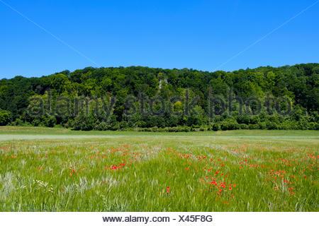Mohnblumen in Weizenfeld nahe Dollnstein, Wellheimer Trockental, Urdonautal, Naturpark Altmühltal, Oberbayern, Bayern, Deutschland - Stock Photo