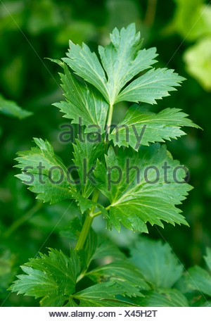 Natural shot of Lovage leaves in natural environment - Stock Photo