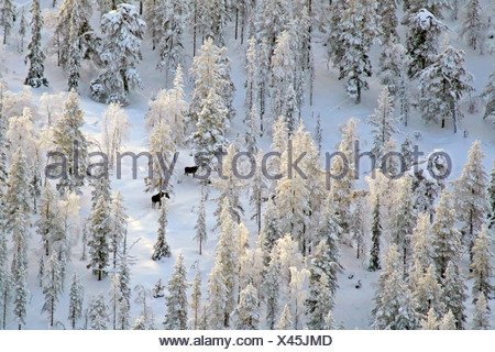 elk, European moose (Alces alces alces), Two elks in winter forest. Photographed from air., Finland, Lapland - Stock Photo