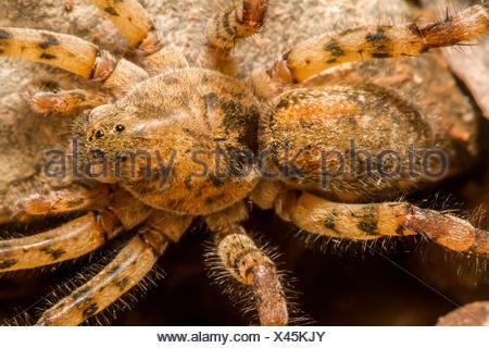 legs, danger, brown, brownish, brunette, fauna, wild, eyes, water, - Stock Photo