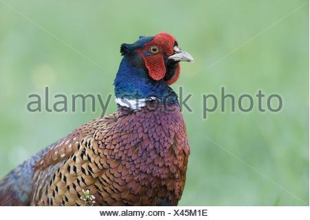 common pheasant - Stock Photo