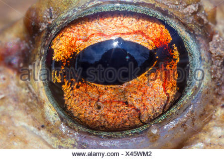 European common toad (Bufo bufo), eye, close-up, Germany, Bavaria, Niederbayern, Lower Bavaria - Stock Photo