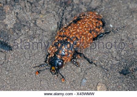 Black burying beetle (Necrophorus humator, Nicrophorus humator), Black burying beetle full of mites, Poecilochirus carabi, Gamasus coleoptratorum, Germany - Stock Photo