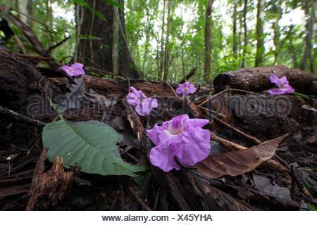 Black poui flowers undergrowth - Barro Colorado Panama - Stock Photo