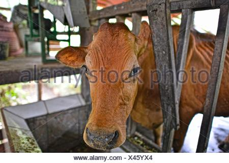 Cow manure is collected to extract methane gas to produce electricity in Costa Rica - Stock Photo