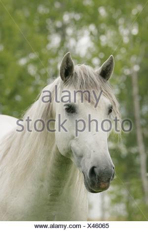 Lusitano horse, Sweden - Stock Photo