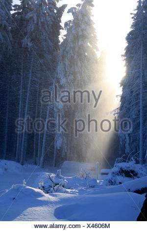 Sunshine in the Harzer winter forest - Stock Photo