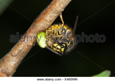common wasp (Vespula vulgaris, Paravespula vulgaris), feeding on a caught spider, Germany - Stock Photo