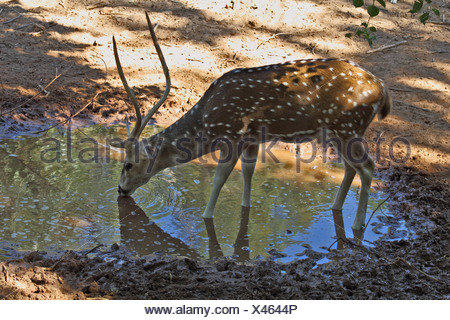 A graceful deer on a watering place - Stock Photo