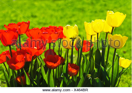 Close-up of beautiful red and yellow tulips against blurred green background - Stock Photo