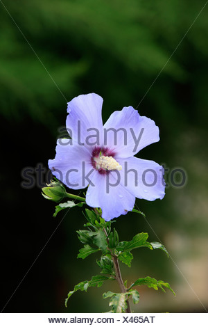 Hibiscus, Rose of Sharon, Shrub Althea or Rose Althea (Hibiscus syriacus), flowering - Stock Photo