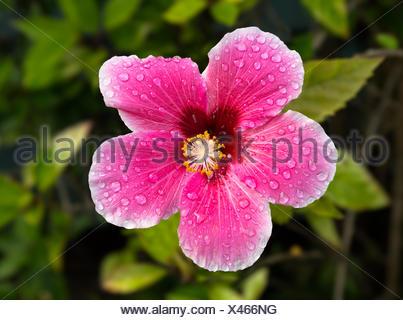 Backlit hibiscus blossom in garden - Stock Photo