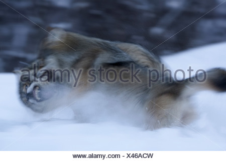 European gray wolf (Canis lupus lupus), two animals fighting on a snow field to establish dominance, Norway - Stock Photo