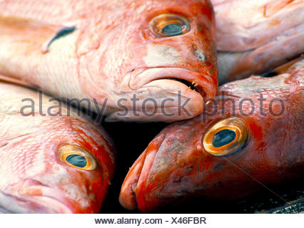 Red snapper (Lutjanus bohar) - Stock Photo