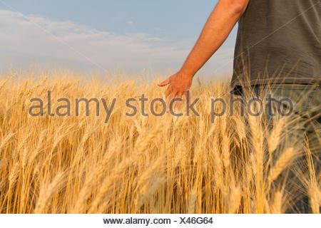 Man walking through wheat field running his hand through the wheat; Val Marie, Saskatchewan, Canada - Stock Photo