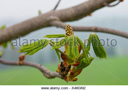 common horse chestnut (Aesculus hippocastanum), shooting of leaves and inflorescence, Germany, Bavaria - Stock Photo