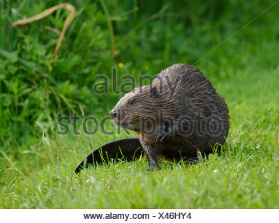 Eurasian beaver, European beaver (Castor fiber), sitting in a meadow, Germany, Baden-Wuerttemberg - Stock Photo