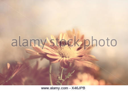 A bee collects pollen from gardenflower. Stock Photo