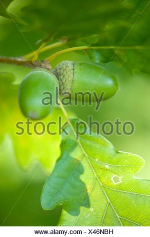 Sessile oak (Quercus petraea), acorns on a tree, Germany - Stock Photo