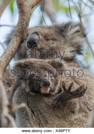 A koala joey, Phascolarctos cinereus, with its mother in a tree. - Stock Photo