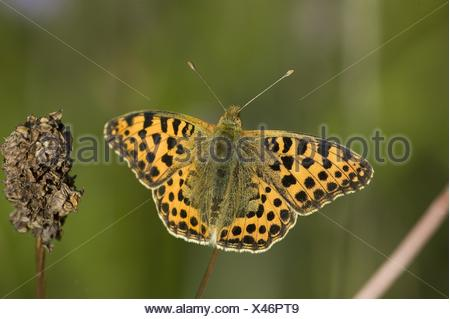 brush-footed butterfly - Stock Photo