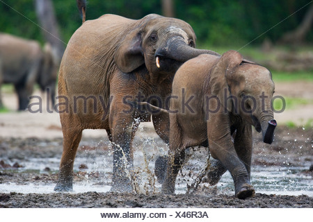 African Forest elephants playing at salt edge, Dzanga Sanga National Park, Central African Republic. - Stock Photo