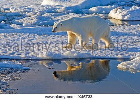 polar bear (Ursus maritimus), on an ice floe in the sea, Norway, Svalbard - Stock Photo
