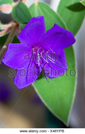 Glory bush, Tibouchina urvilleana, Purple flower with prominent stamen on an evergreen shrub. - Stock Photo