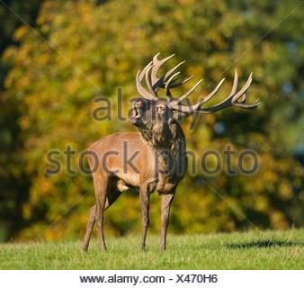 Red Deer (Cervus elaphus) bellowing during rutting season, captive, Lower Saxony, Germany - Stock Photo