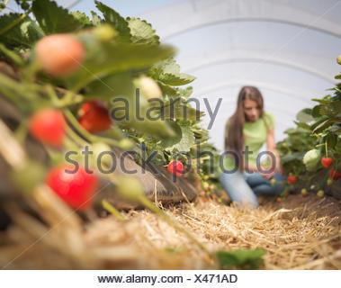 Worker picking strawberries in fruit farm - Stock Photo