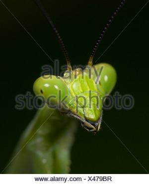 Praying Mantis FamilyMantidae Costa Rica - Stock Photo