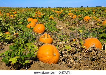 Agriculture - Field of mature pumpkins ready for harvest / near Lathrop, California, USA. - Stock Photo