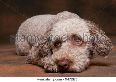 Lagotto Romagnolo, male / Romagna Water Dog - Stock Photo