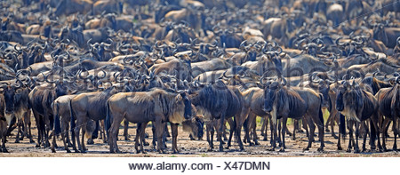 Great Migration, Blue Wildebeest (Connochaetes taurinus), gnus jostling on the shore of Mara River, Masai Mara, Kenya, Africa - Stock Photo