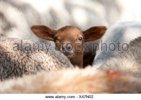 domestic sheep (Ovis ammon f. aries), brown lamp looking out between sheep, Germany - Stock Photo