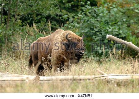 Bison bison bonasus Bovinae cattle buffaloes horns bovine cloven-hoofed animal bisons autumn animal animals Germany Europe, - Stock Photo