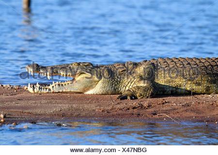 Nile crocodile (Crocodylus niloticus) resting on the banks of Lake Kariba with its jaw open. Matusadona National Park, Zimbabwe. - Stock Photo