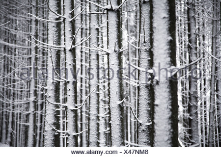 Snow-covered Spruces (Picea) in winter, Black Forest, Baden-Wuerttemberg, Germany, Europe - Stock Photo