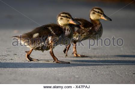 Mallard ducklings (Anas platyrhynchos), walking on asphalt, Baden-Württemberg, Germany - Stock Photo