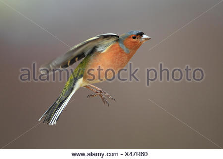 chaffinch (Fringilla coelebs), flying, United Kingdom, Scotland, Cairngorms National Park - Stock Photo