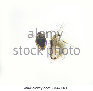 Two water fleas, Daphnia species, seen through a microscope. - Stock Photo